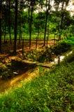 Rubber Tree (Hevea brasiliensis) Farm Stock Photo