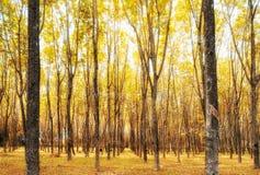 Rubber tree, hevea brasiliensis golden yellow in shady plantation