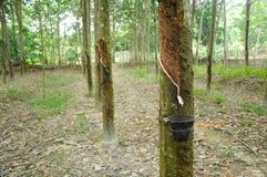 Rubber Tree or Hevea brasiliensis plantation in Malacca, Malaysia Stock Photos