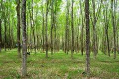 Rubber tree, hevea brasiliensis in shady plantation