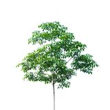 Rubber tree Royalty Free Stock Images