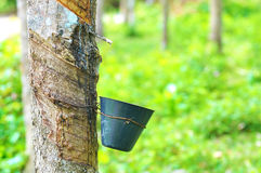 Rubber tree and latex bowl stock photo