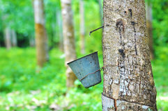 Rubber tree and latex bowl royalty free stock images