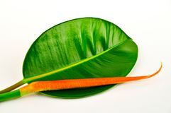 Rubber tree leaf. Stock Image