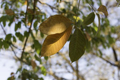 Rubber tree leaves with yellow or orange color leave of , Autumn season. Stock Photo