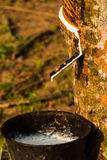 Rubber tree liquid Royalty Free Stock Image