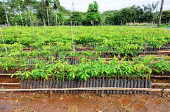 Rubber tree nursery Stock Images