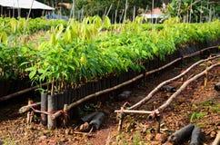 Rubber tree nursery Royalty Free Stock Photo