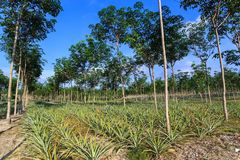 Rubber Tree And Pineapple Plantation Stock Image