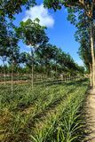 Rubber Tree And Pineapple Plantation Stock Photos