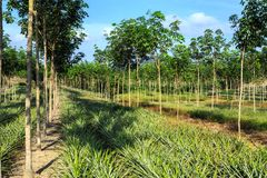 Rubber Tree And Pineapple Plantation Stock Photo