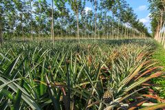 Rubber Tree And Pineapple Plantation Stock Photography