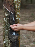Rubber tree plantation Royalty Free Stock Image