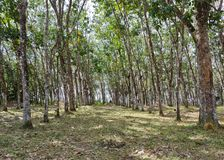 Rubber tree plantation Royalty Free Stock Images