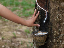 Rubber tree plantation Royalty Free Stock Photos