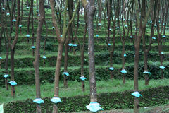 Rubber tree Plantation stock images