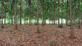 Rubber tree plantation Stock Photos