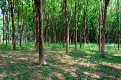 Rubber tree plantation forest. In a sunny day Stock Photography
