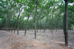 Rubber tree of plantation stock photography