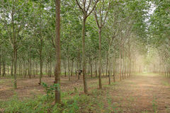 Rubber tree plantation Royalty Free Stock Photography