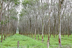 Rubber tree plantation Stock Photography