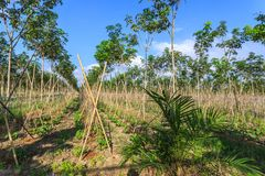 Rubber Tree Plantation With Rows Of Trees Royalty Free Stock Photo