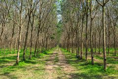 Rubber Tree Plantation With Rows Of Trees Stock Images