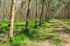 Rubber Tree Plantation With Rows Of Trees Stock Image