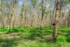 Rubber Tree Plantation With Rows Of Trees Royalty Free Stock Images