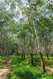Rubber Tree Plantation With Rows Of Trees Royalty Free Stock Photos