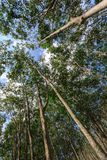 Rubber Tree Plantation With Rows Of Trees Stock Photos