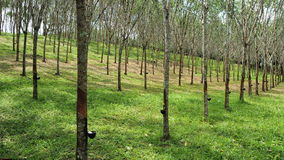 Rubber Tree Plantation Stock Image