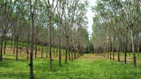 Rubber tree plantation Royalty Free Stock Image