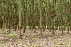 Rubber tree plantation. Stock Photography