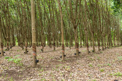 Rubber tree plantation. Royalty Free Stock Photo