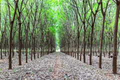 Rubber tree plantation Royalty Free Stock Photo