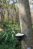 Rubber tree plantation, Thailand Royalty Free Stock Photo