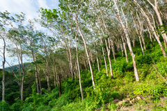 Rubber tree plantation, used to produce natural raw latex Royalty Free Stock Photo