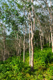 Rubber tree plantation, used to produce natural raw latex Stock Photography