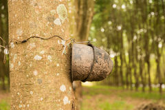 Rubber tree Stock Image