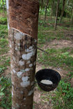 Rubber tree Royalty Free Stock Photography