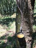 Rubber Tree, rubber collection bowl in plantation Sao Paulo Stare Brazil stock image