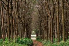 Rubber tree , rubber plantation Stock Photos