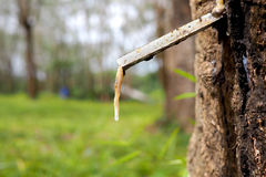 Rubber tree with sap dripping from it Royalty Free Stock Image
