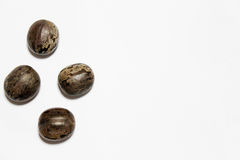 Rubber tree seeds Stock Image
