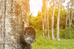 Rubber tree with sunshine background of nature,Close up. 1 Royalty Free Stock Photo