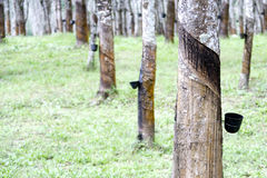 Rubber Tree Tapping. Rows of tapped rubber trees at a rubber estate in Malaysia. Cups at the side of the tree trunks are for collecting the latex that is bled Royalty Free Stock Image