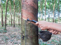 Rubber tree tapping Stock Photography