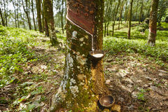 Rubber tree Stock Photos