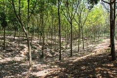 Rubber Tree Thailand Stock Photos